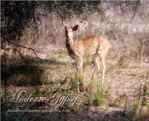 Spotted Deer_Bharatpur Bird Sanctuary
