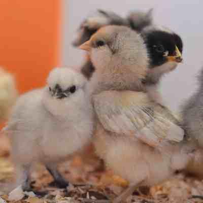 Raising Baby Chicks For Beginners – Week One