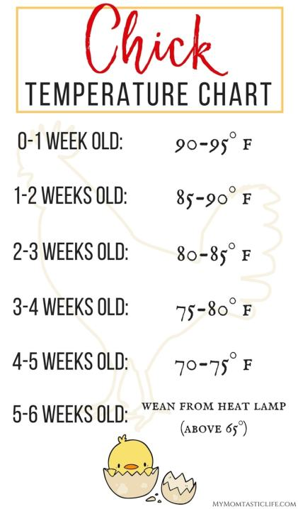The First 6 Weeks of Raising Chicks - Guide For Beginners