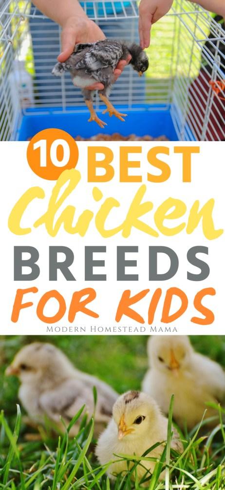 10 Best Chicken Breeds For Kids - Modern Homestead Mama