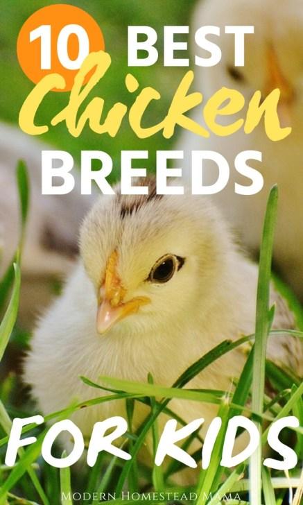 10 Best Chicken Breeds For Kids
