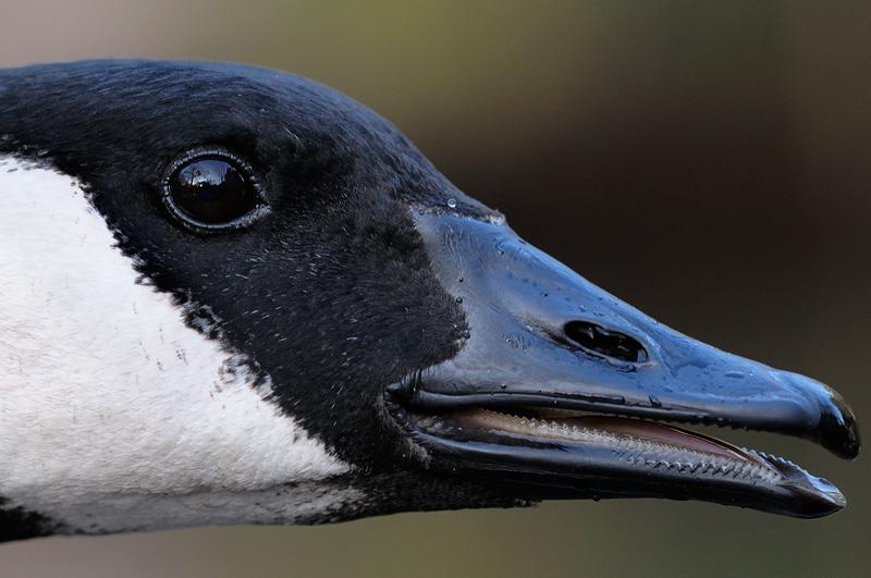 goose-sunet-portrait