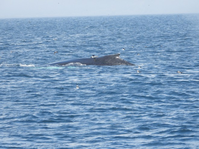A humpback whale surfaces in Witless Bay. Photo by Jeannine Winkel.