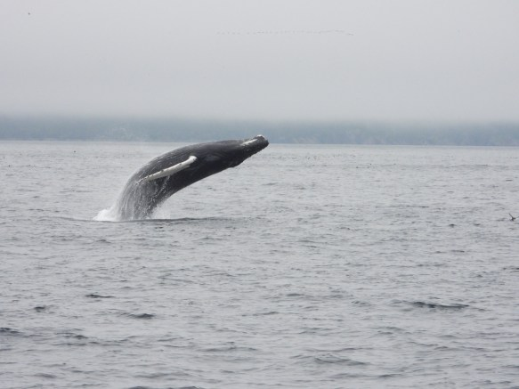 A humpback calf fully breaches in Witless Bay. Photo by Jeannine Winkel of Molly Bawn Tour