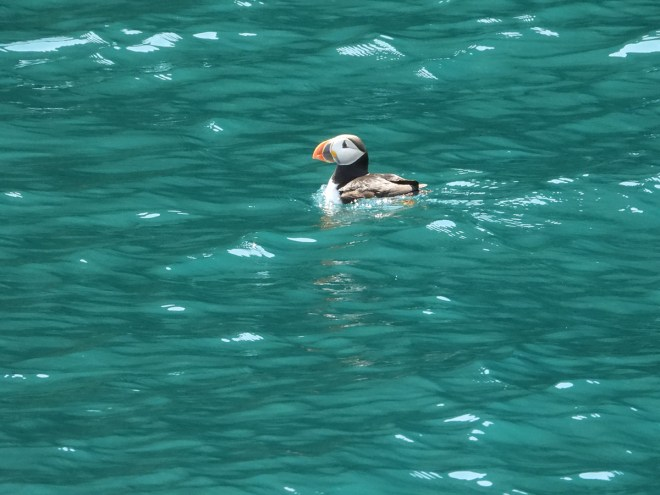 A puffin floats in the blue ocean water on a sunny day. Photo by Jeannine Winkel.