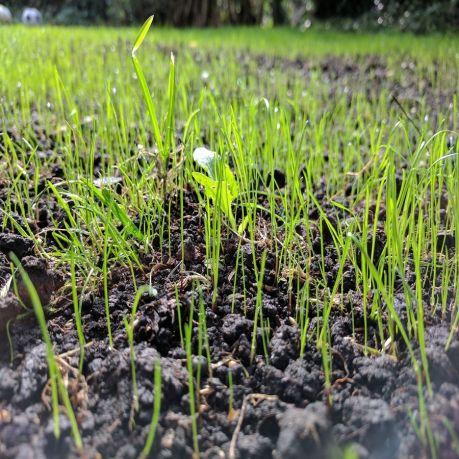 grass-seed-2643455-1920-1548212328_900x900.jpg