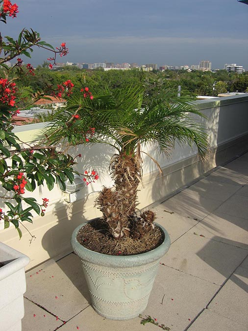 3 out of 5 palm stems have been killed by Solar Gain Thermal Shock