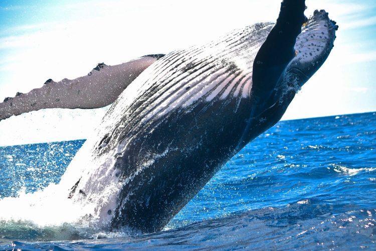 Humpback Whales, Dominican Republic