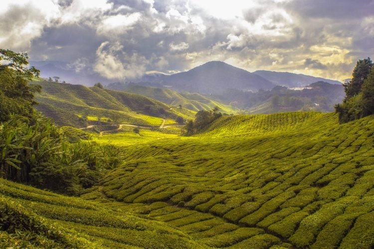 The Cameron Highlands in Malaysia