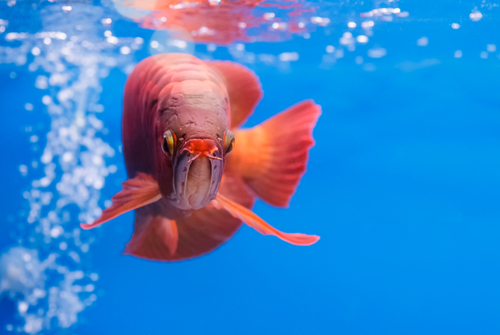 Ikan merah arwana Asia, ikan naga