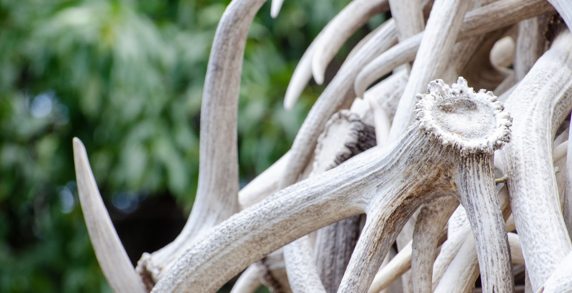 Western Wallpaper: Jackson, Wyoming Antler Arch Stock Photo Downloads. A close-up of deer and elk antlers, part of the historical antler arch entrances to Jackson, Wyoming's town square.