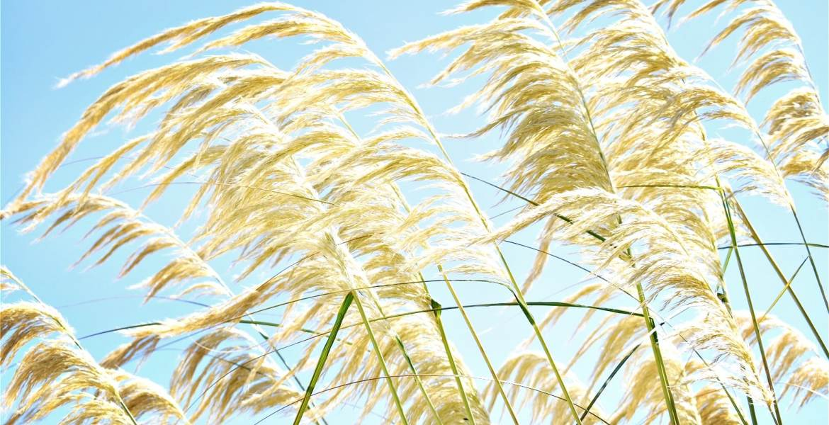 Tall native grasses blow under a bright blue sky on New Zealand's West Coast.