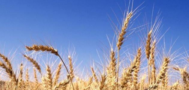 كم تبلغ نسبة البروتينات في حبة القمح موضوع