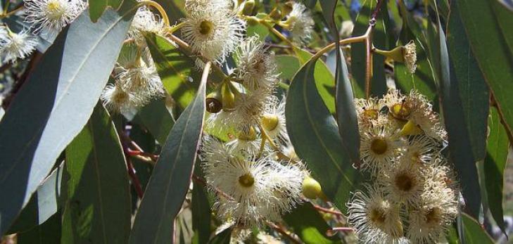 Beneficios para la salud ayurvédica del eucalipto