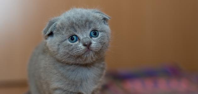 أجمل القطط الصغيرة في العالم موضوع