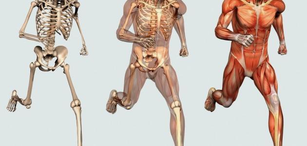 عدد العظام الموجودة في جسم الإنسان موضوع
