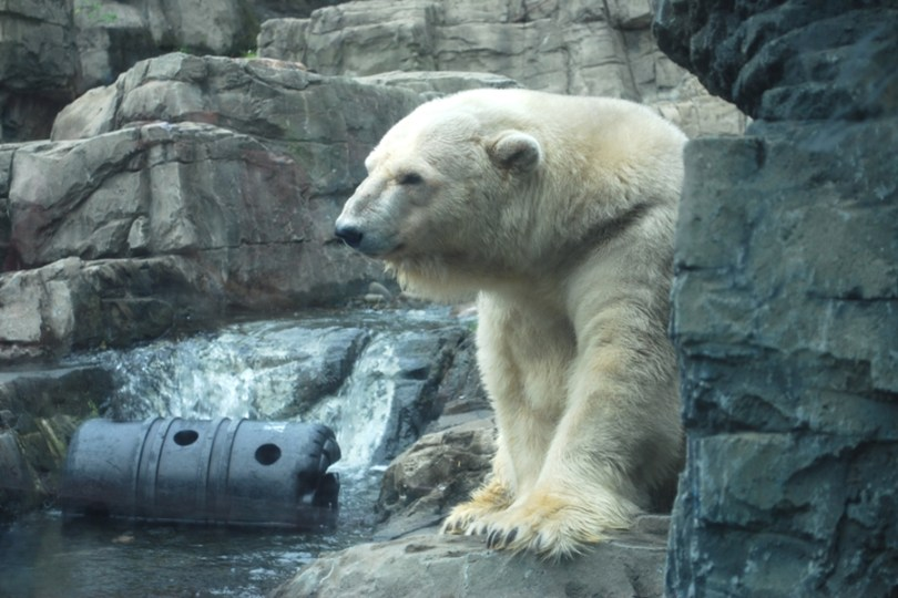 Urso Polar - Central Park Zoo
