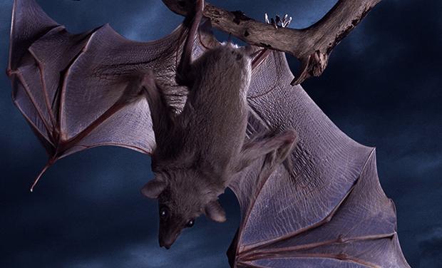 Científicos descubren la física detrás del aterrizaje de los murciélagos