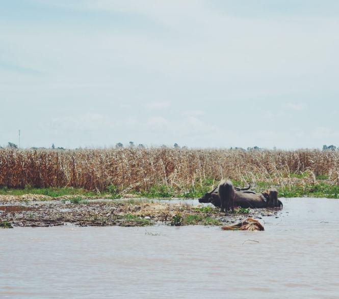 bufalos en delta del mekong