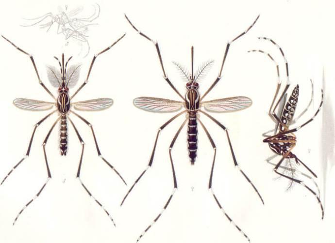 aedes aegypti genetically modified mosquito