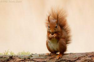 Rode eekhoorn1