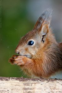 rode eekhoorn 3