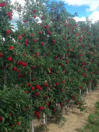 """This is the goal, a nice uniform """"fruiting wall."""""""