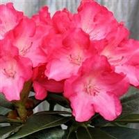 Yakushimanum Rhododendron Fantastica
