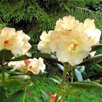 Yakushimanum Rhododendron Flava