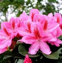 Rhododendron Furniwalls Daughter
