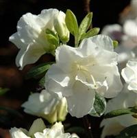 Rhododendron Schneeperle