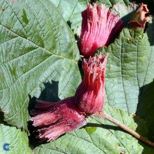 Corylus Avellana Rød Zellernød