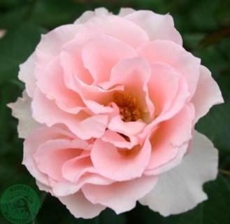 Rosa Ingeborgs rose