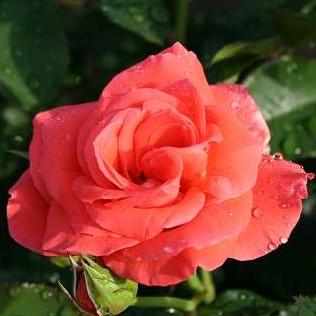 Rose Prinsesse-Marie