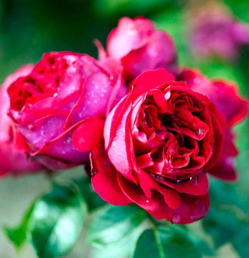 Rosa Willestrup, rød
