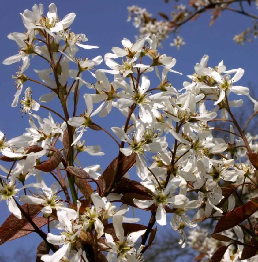 Amelanchier arborea 'Robin Hill' - Bærmispel