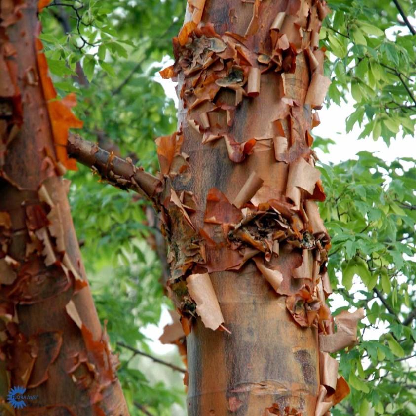 Papirbarkløn - Acer Griseum