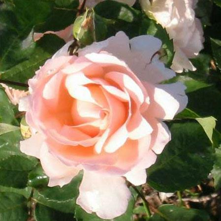 Rosa Clair-Renaissance