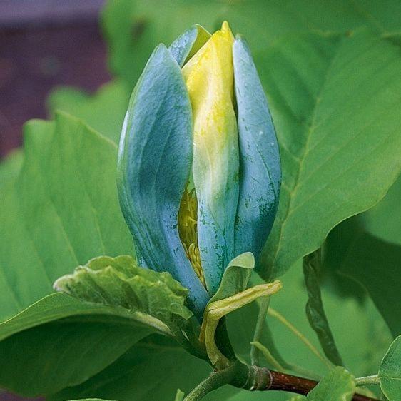 Magnolia Acuminata Blue Opal