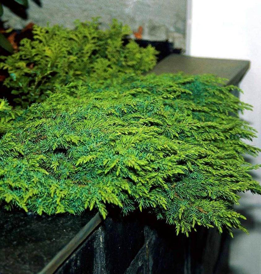 Juniperus Squamata Green Carpet Krybende ene