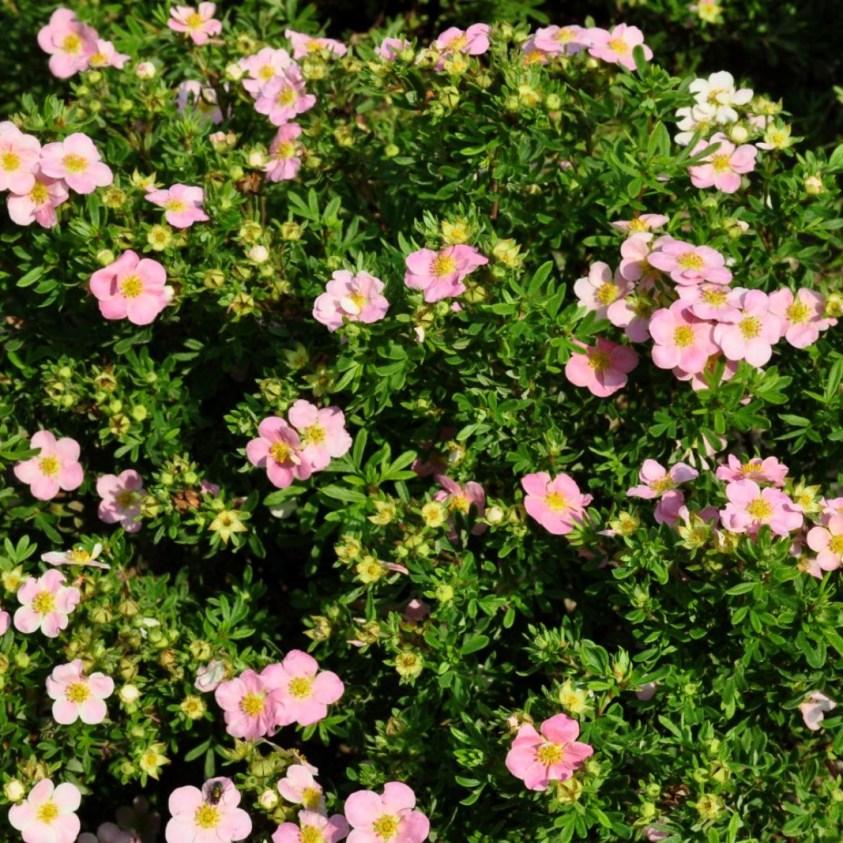 Potentilla Fruticosa Lovely Pink