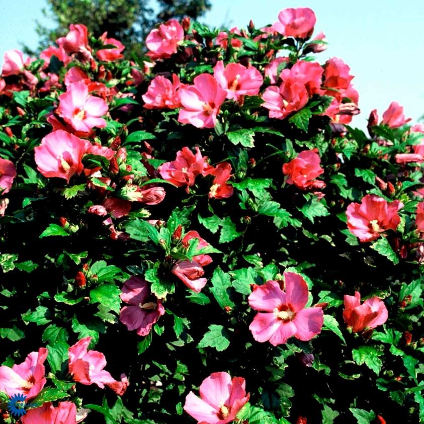 Hibiscus Syriacus Woodbridge Syrisk rose