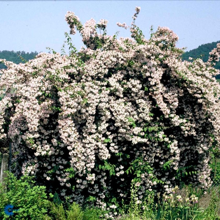 Kolkwitzia Amabilis Pink Cloud Dronningebusk