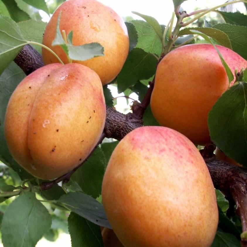 Prunus Armeniaca Nancy Abrikos