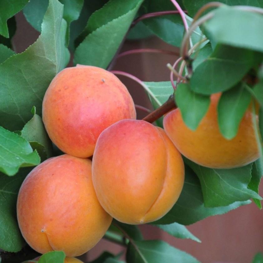 Prunus Armeniaca Orangered Abrikos Orangered