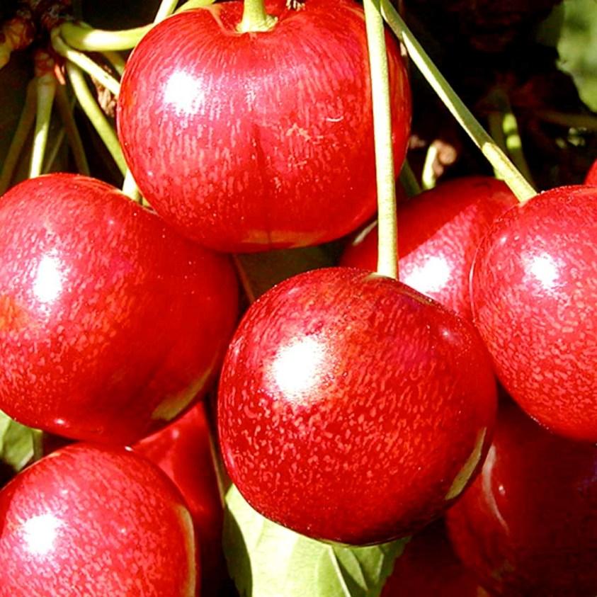 Prunus Avium Sunburst Dværgkirsebær Sunburst
