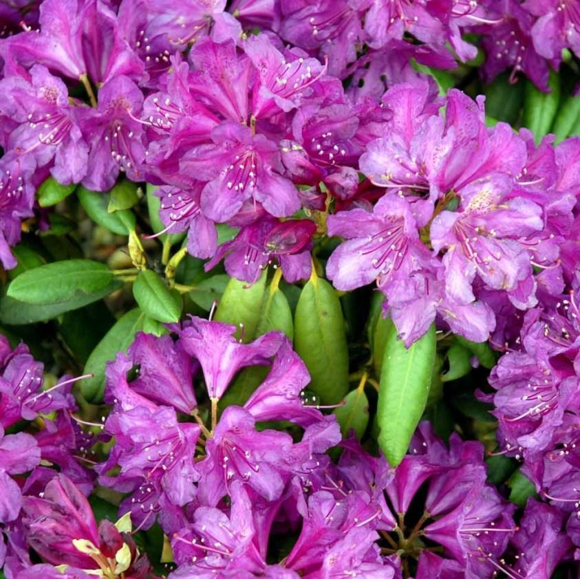 Yakushimanum Rhododendron Bohlkens Lupinenborg