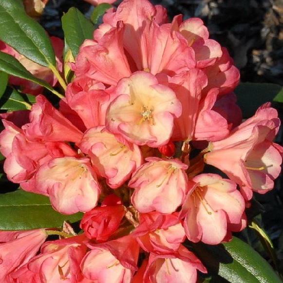 Yakushimanum Rhododendron Barbarella