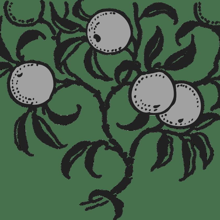 Morus rotun. Mojo Berry morbær