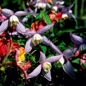 Clematis Alpina Willy